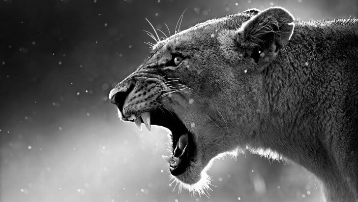 lioness-in-black-and-white-852.jpg